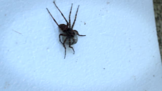 Brown Recluse Spider on Styrofoam with Egg sac in dramatic color video