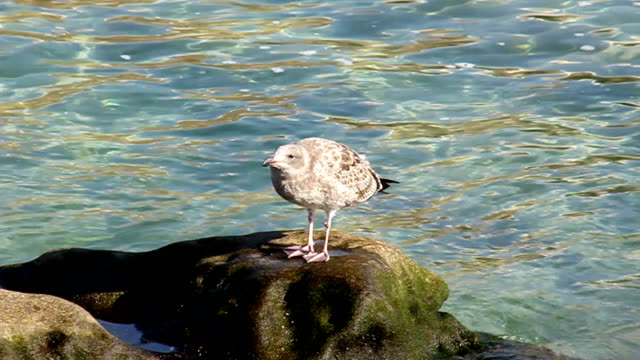 Brown seagull video