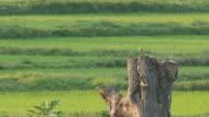 Brown shrike resting on wood stump video