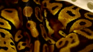 brown snake, Boa video