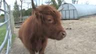 Brown steer 4 - HD 1080/30f video