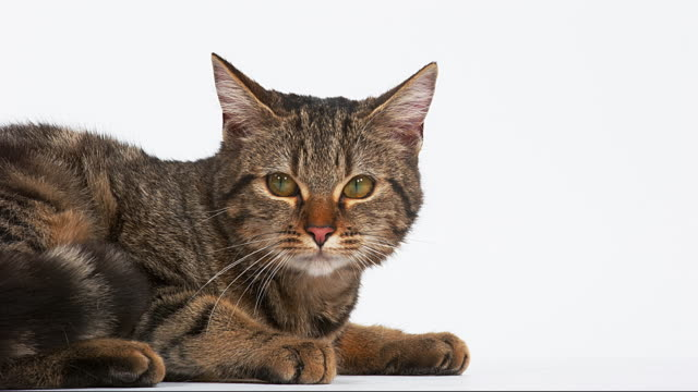 Brown Tabby Domestic Cat on White Background, Real Time 4K video