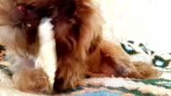 Brussels Griffon Dog chews video