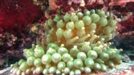 Bubble-tip anemone video
