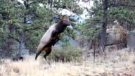Buck Elk Jumps Over Barbed Wire Fence video