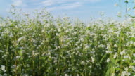 HD DOLLY: Buckwheat Swaying in the Wind video