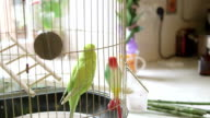 Budgie And Plastic Friend In The Cage video