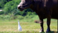 Buffalo and egret video