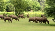 Buffalo and egret video