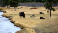 Buffalo Bison in Yellowstone National Park video
