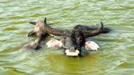 Buffalo calf with a mother buffalo in a river video