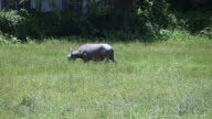 Buffalo eating grass video