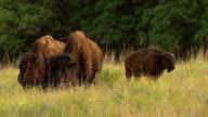 Buffalo Family Grazing video