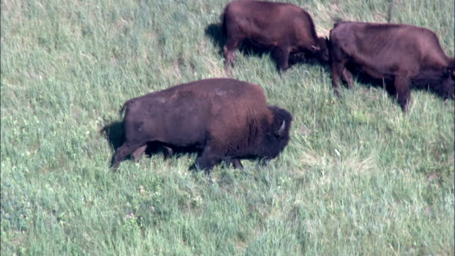 Buffalo Grazing In Custer Park  - Aerial View - South Dakota, Custer County, United States video