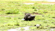 Buffalo Grazing in water video