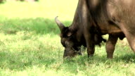 Buffalo grazing video