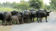Buffalo herd in rural Thailand video