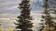 Buffalo Herd video