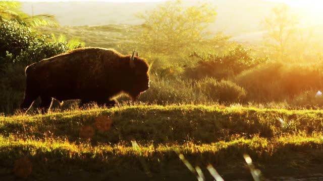 Buffalo In Morning Meadow video