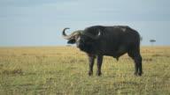 Buffalo in the Masai Mara, Kenya video