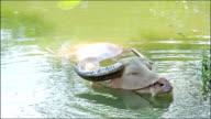 buffalo in water video