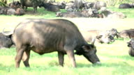 Buffalo Resting and Grazing video