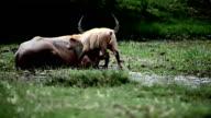 buffalo tease. video