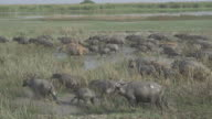 Buffaloes in the field.(4K) video