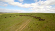 Buffaloes on the open plain video