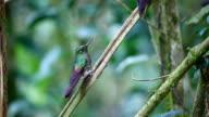 Buff-tailed Coronet, Boissonneaua flavescens, close up in Ecuador video