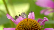 A bug on top of the purple cornflower plant video