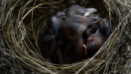 bulbul chicks video