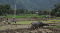 Bull and farmers planting rice by hands in paddy terrace field in Sapa Mai Chau Vietnam video