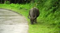 Bull eating grass video