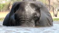 Bull elephant swimming in a river in the Okavango Delta video