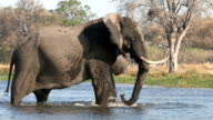 A bull elephant walking into a river and splashing himself in the Okavango Delta video