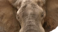 Bull elephant with ears extended charging towards the camera video