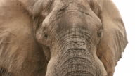 Bull elephant with ears extended looking aggressively towards the camera video