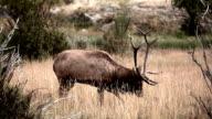 Bull Elk Bugle video