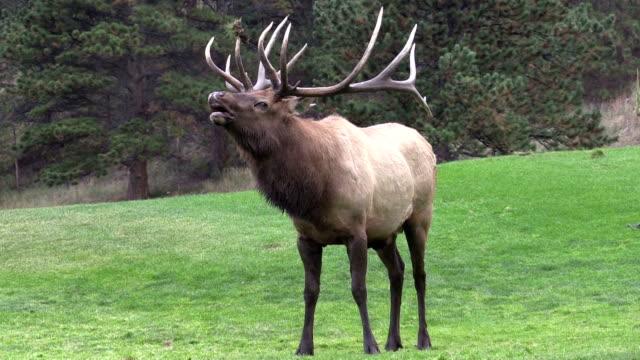 Bull Elk Bugling in Rut video