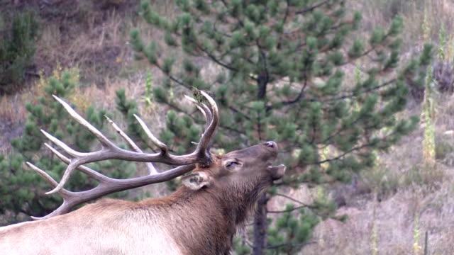 Bull Elk Bugling in the Rut video