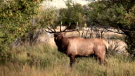 Bull Elk Bugling with Audio video