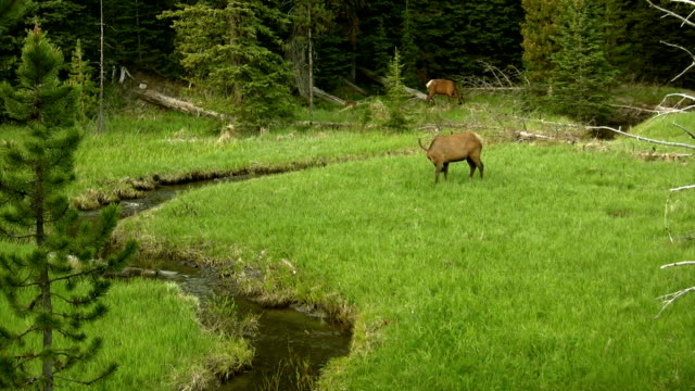 Bull elk eatting grass in Yellowstone video