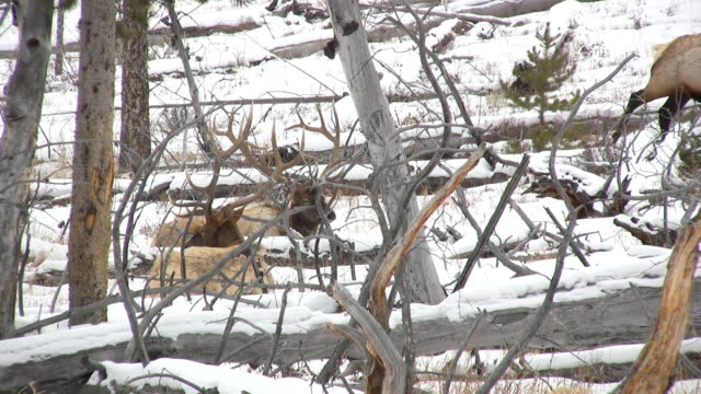 bull elk in yellowstone video