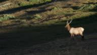 Bull Elk on Alpine Tundra in Rocky Mountain NP, Colorado video