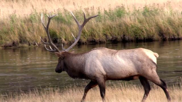 Bull Elk video