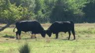HD: Bull fight video