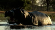 Bull hippo charging towards camera, Botswana video