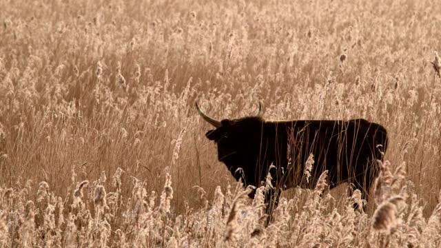 bull is grazing video