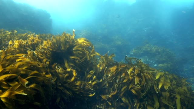 Bull kelp and seaweed moving in current underwater video
